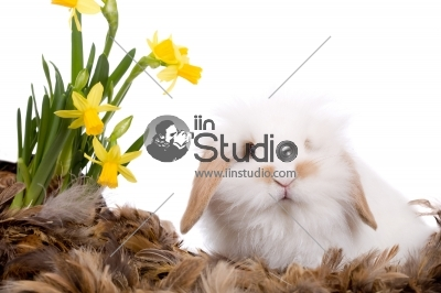 Cute white bunny with narcissus flowers