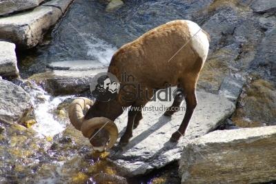 Rocky Mountain Sheep E