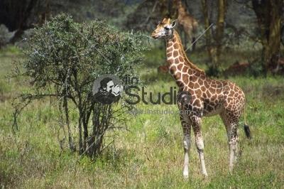 Giraffe on the background of forest in Masai Mara National Reserve - Kenya, East Africa