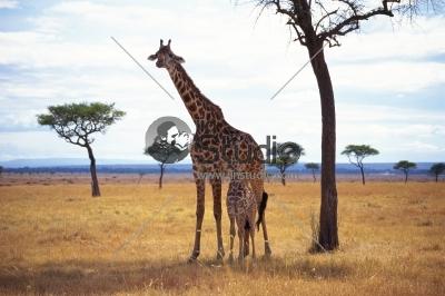 Young family of giraffe