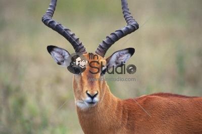 Male springbok (Antidorcas marsupialis)