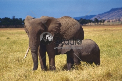 Elephant Mother and Baby Serengeti Tanzania Africa