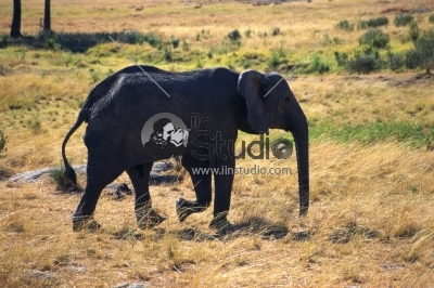 African elephant in the Serengeti National Park, Tanzania