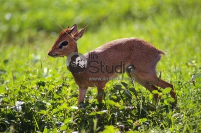 The Sika Deer, Cervus nippon, also known as the Spotted Deer or the Japanese Deer, is a species of deer native to much of East Asia and introduced to various other parts of the world