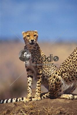 Powerful male leopard sitting