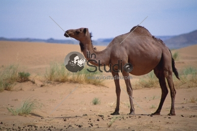 Desert landscape. Sand, camel, Travel adventure background