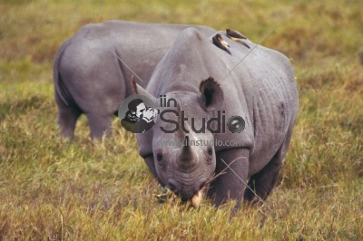 Frontal view of the critically endangered Black Rhinoceros