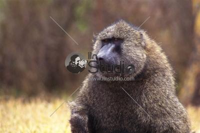 Vervet monkey in quiet moment
