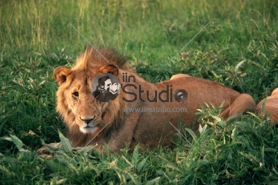 Backlit lion laid in vibrant green grass/Lion
