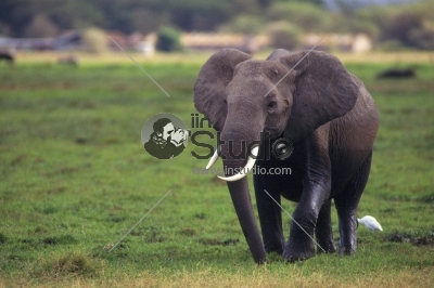 Elephant portrait on African savanna. Safari in Amboseli, Kenya, Africa