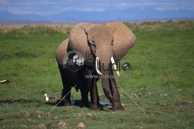 Elephant portrait on Africa