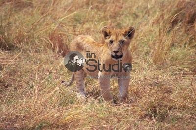 Lion cub, Maasai Mara National Reserve, Kenya, East Africa