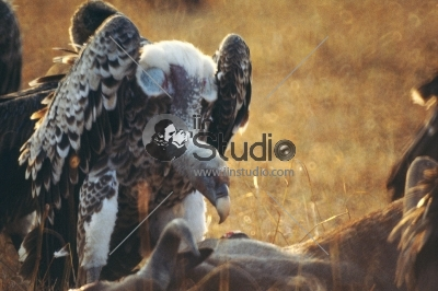 White-backed vulture in Masai Mara National Park