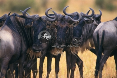 A herd of anxious Cape buffalo bunched together