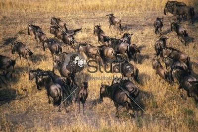 A WILD herd of African Buffalo migrate at the Masai Mara, Kenya, Africa