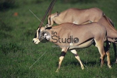 Impala Antelope at Murchison Falls National Park Safari Reserve in Uganda