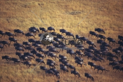 African Buffalo migrate