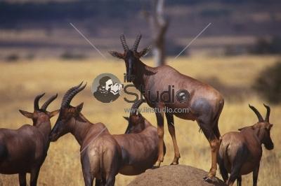 Impala (Aepyceros melampus) in Chobe National Park, Botswana