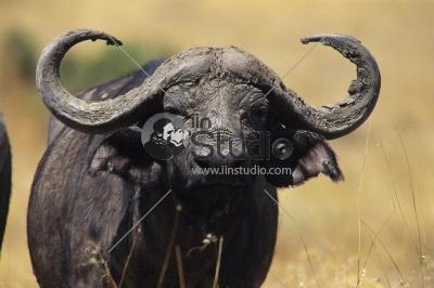 A big Cape buffalo in this portrait