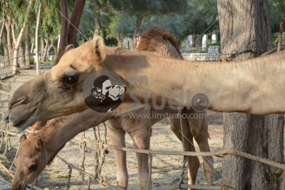 A camel in the Al Areen Park
