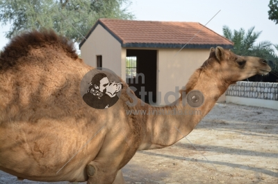 Closeup of a camel, Al Areen Park Bahrain