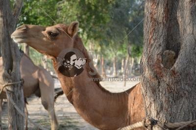 Camels in Al Areen Park Bahrain