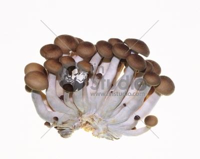 Brown beech mushrooms, Shimeji mushroom, Edible mushroom isolated
