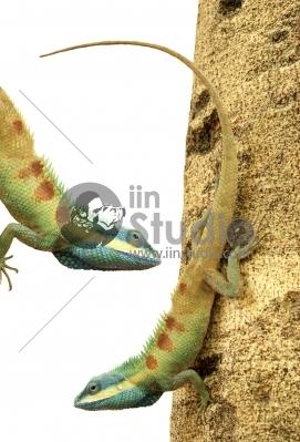 Asian green chameleon isolated