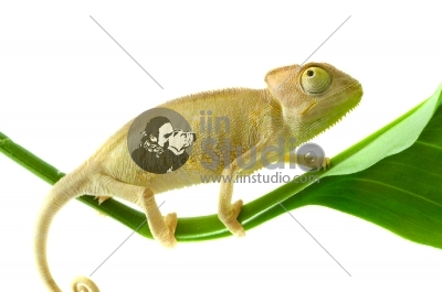 Chameleon on leaf Isolation on white background