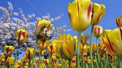 Colourful tulips (Tulipa sp) and Japanese cherry tree (Prunus serrulata) in flower garden of Keukenhof