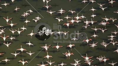 Aerial view of a mixed flock of Lesser Flamingos