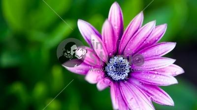 1920x1080-2918-wet-daisy