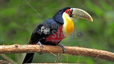 Red-breasted Toucan (Ramphastos dicolorus) adult
