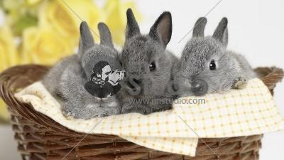 3 gray bunny rabbits in a basket
