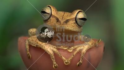 Gunther's Banded Treefrog (Hyla fasciata)