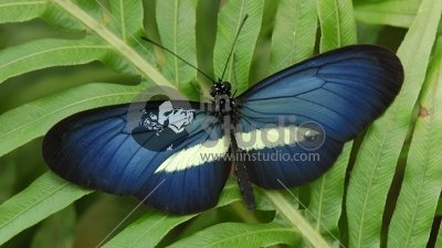 Crimson-patched Longwing (Heliconius erato) butterfly