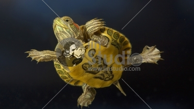 Red-eared Slider (Trachemys scripta elegans) young turtle