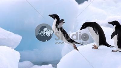 Adelie Penguin (Pygoscelis adeliae) group