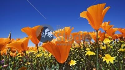 California Poppies & Goldfields cover hillsides in Antelope