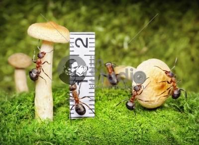 Team of ants harvesting and measuring mushrooms - important food