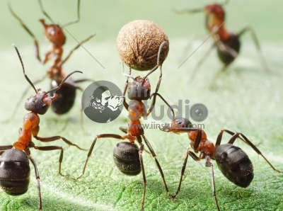 Team of ants plays football with pepper seed