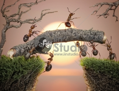 Team of ants with chief constructing bridge over water on sunrise or sunset