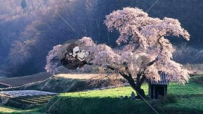 bloomingcherrytree-1920x1080