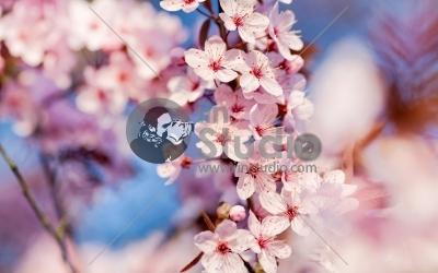 cherry-flowers-1920x1200