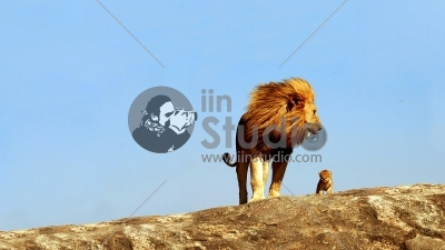 dad-lion-and-the-lion-cub-HD