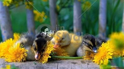 ducks-yellow-flowers-1920x1080