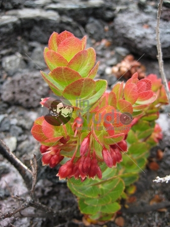 Growth on lava rocks