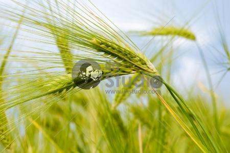 beauty of rice