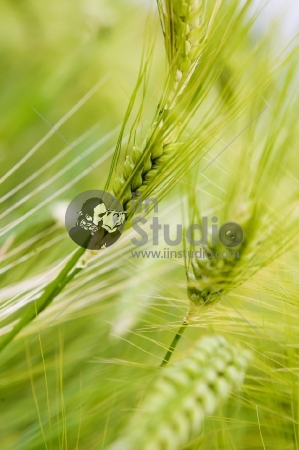 Vivid green rice
