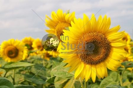 Beautiful blooming sunflower